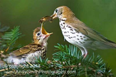 Wood Thrush Feeding the Fledgling
