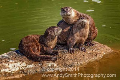 River Otters, John Day River, Oregon