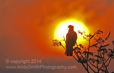 Caracara in the Sunset, Brazil